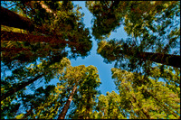 Mariposa Grove, a lot of looking up!